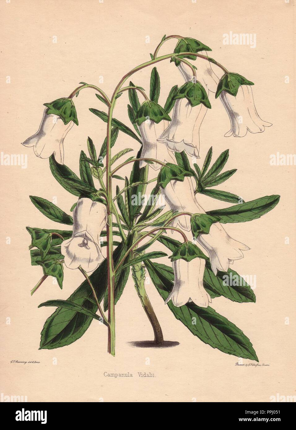 White Bellflower Campanula Vidalii Drawn And Zincographed By C T