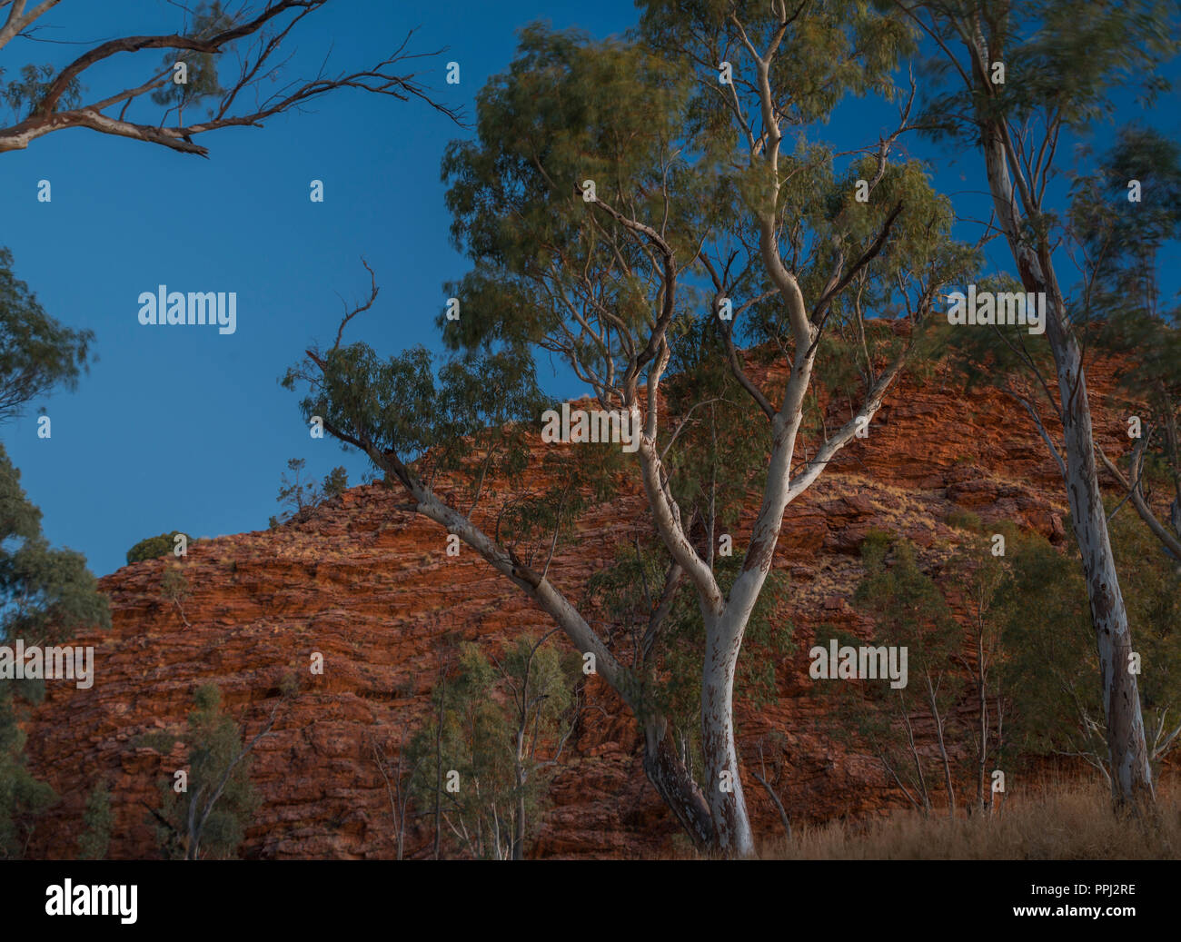 Gum trees in a river bank,  West Macdonnell Ranges, Alice Springs, NT, Australia - Stock Image