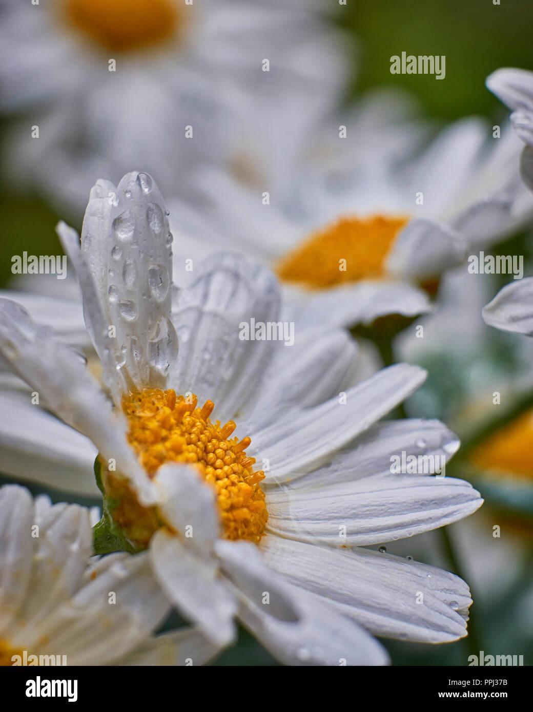 Beautiful White Daisies Flowers With Raindrops Stock Photo