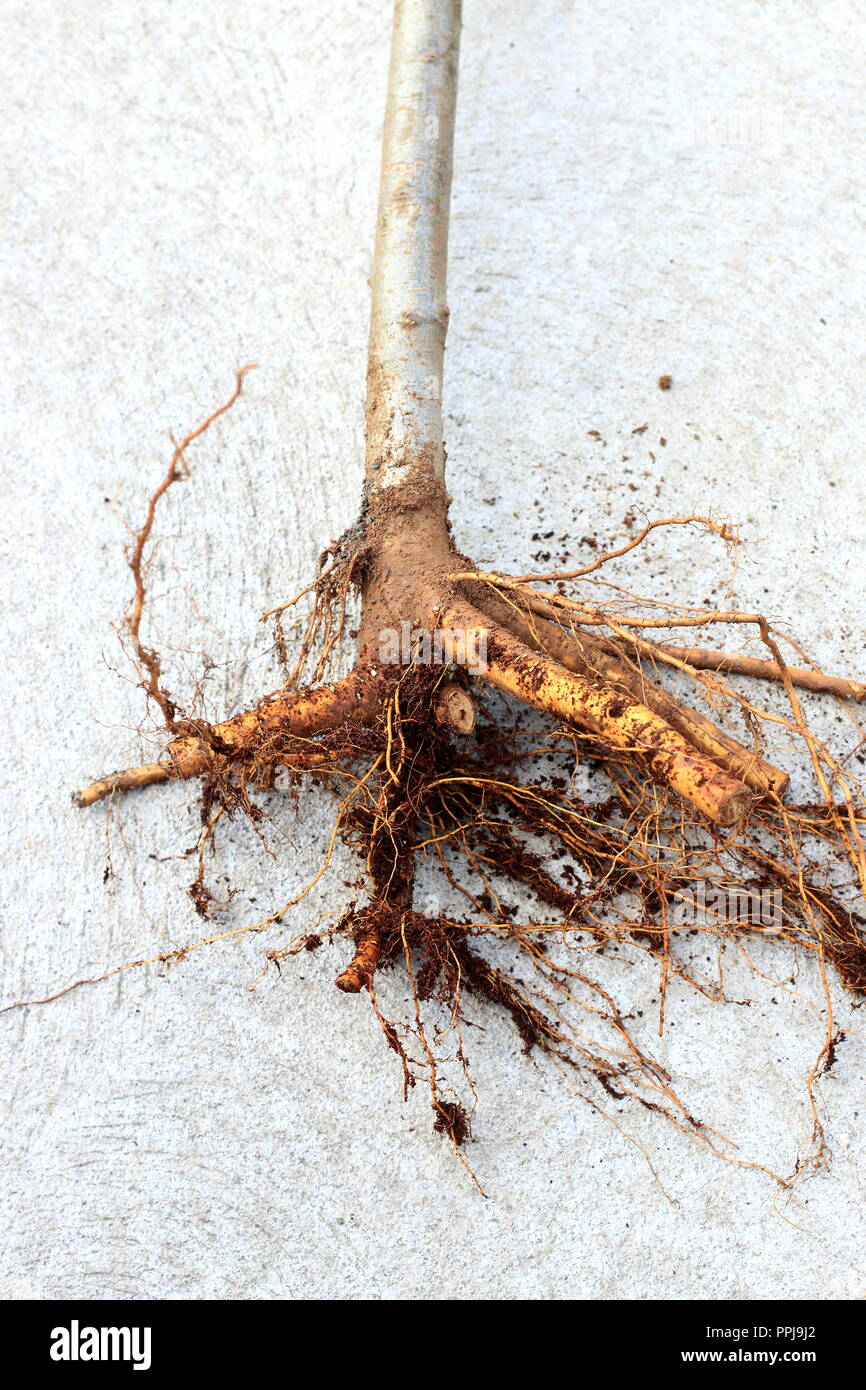 Close up of bare rooted apple tree isolated - Stock Image