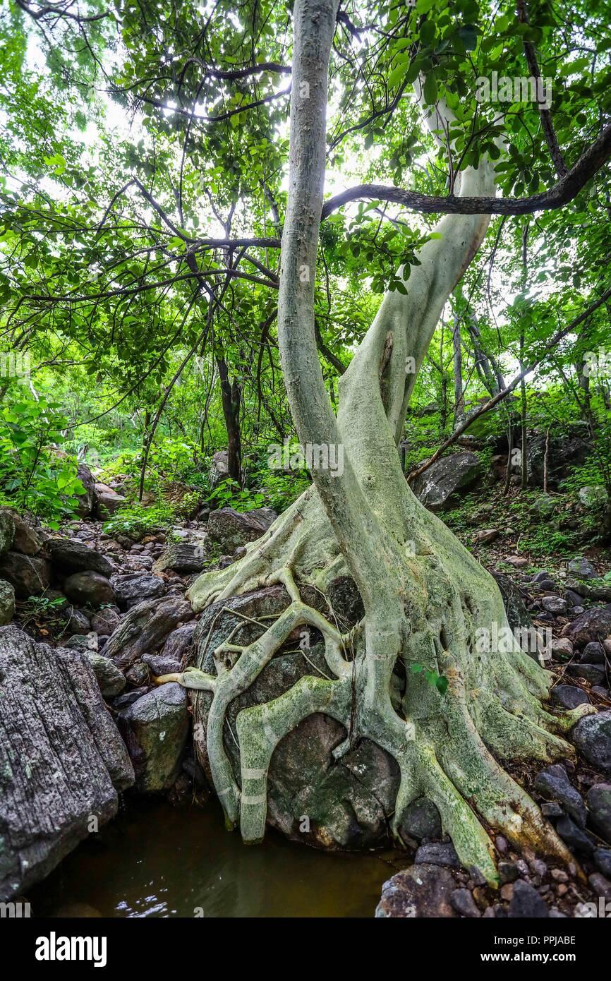 Arbol Tescalama **** Reserva Monte Mojino (ReMM) de la Natural Culture International (NCI)  Credito:LuisGutierrez Stock Photo