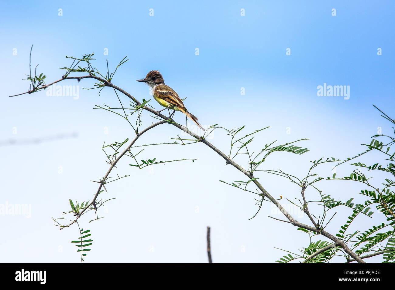 Brown-crested Flycatcher  Copeton Tirano . anida en los huecos de los troncos.  **** Reserva Monte Mojino (ReMM) de la Natural Culture International ( Stock Photo