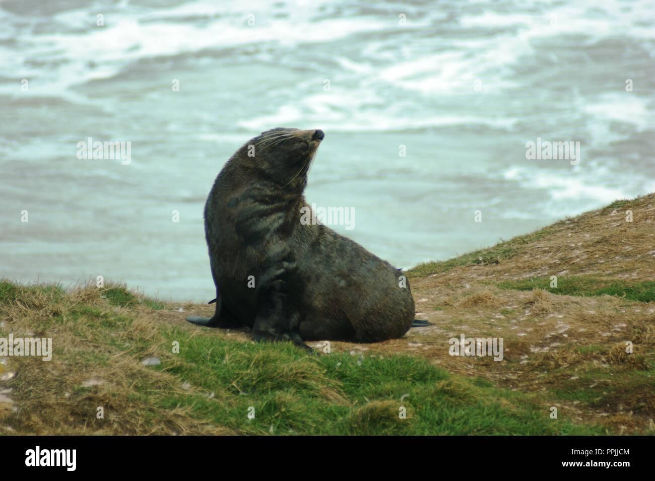 New Zealand fur seal on the Otago Peninsula, New Zealand - Stock Image