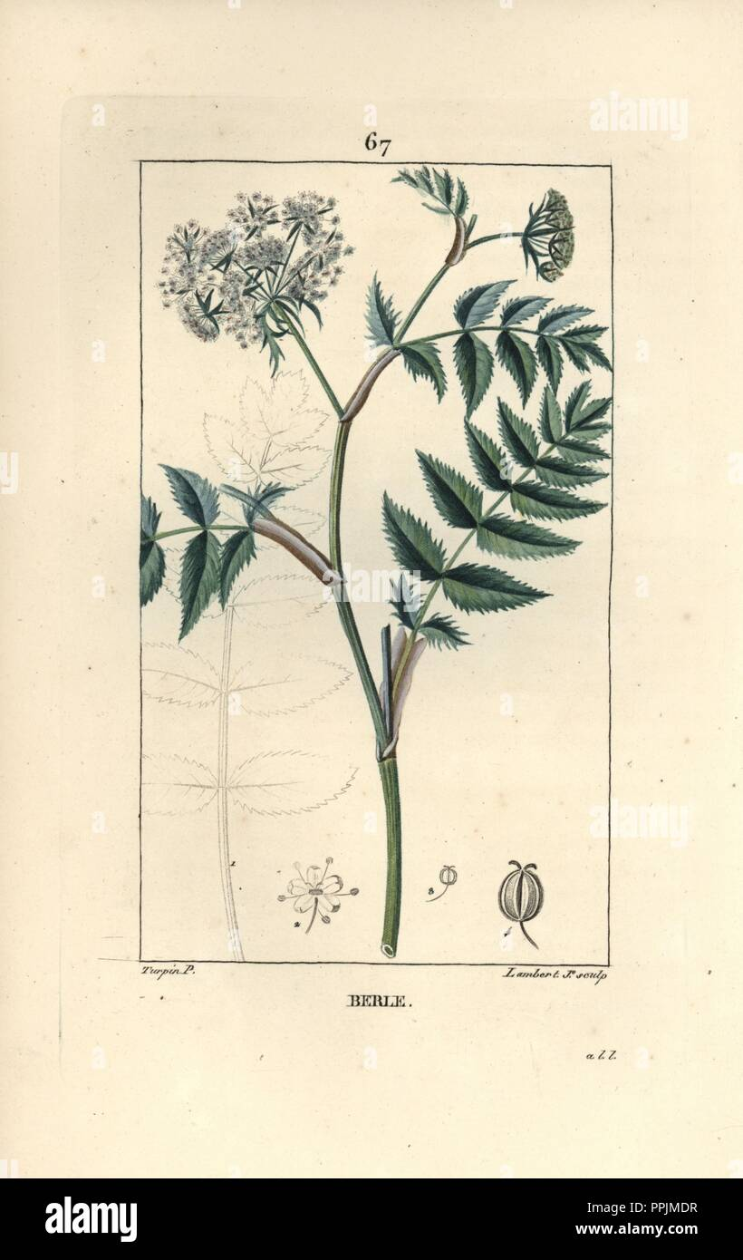 "Cutleaf water parsnip, Berula erecta. Handcoloured stipple copperplate engraving by Lambert Junior from a drawing by Pierre Jean-Francois Turpin from Chaumeton, Poiret et Chamberet's ""La Flore Medicale,"" Paris, Panckoucke, 1830. Turpin (17751840) was one of the three giants of French botanical art of the era alongside Pierre Joseph Redoute and Pancrace Bessa. Stock Photo"