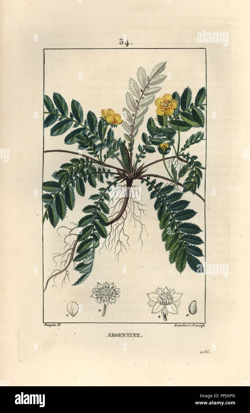 """Silverweed or silver cinquefoil, Argentina anserina. Handcoloured stipple copperplate engraving by Lambert Junior from a drawing by Pierre Jean-Francois Turpin from Chaumeton, Poiret et Chamberet's """"La Flore Medicale,"""" Paris, Panckoucke, 1830. Turpin (17751840) was one of the three giants of French botanical art of the era alongside Pierre Joseph Redoute and Pancrace Bessa. Stock Photo"""