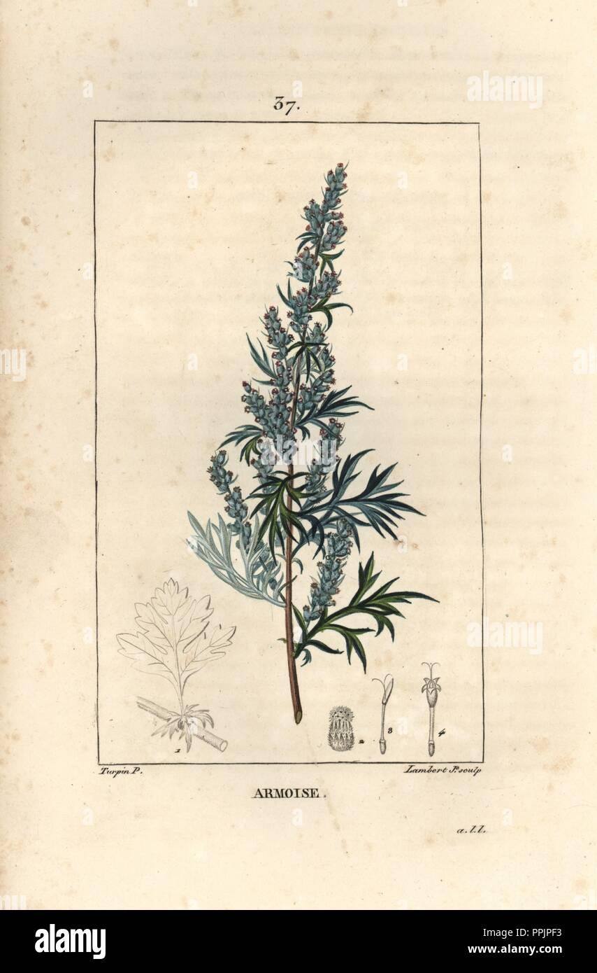 Mugwort Or Common Wormwood Artemisia Vulgaris Handcoloured