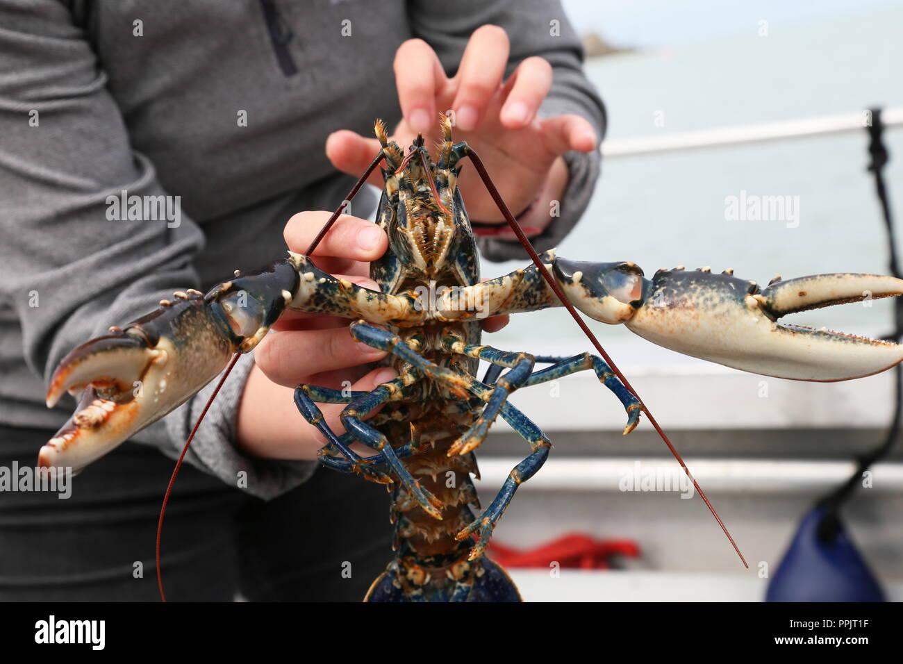European Lobster (Homarus gammarus), Wildlife Boat Trip, New Quay, Cardigan Bay, Ceredigion, Wales, Great Britain, United Kingdom, UK, Europe - Stock Image
