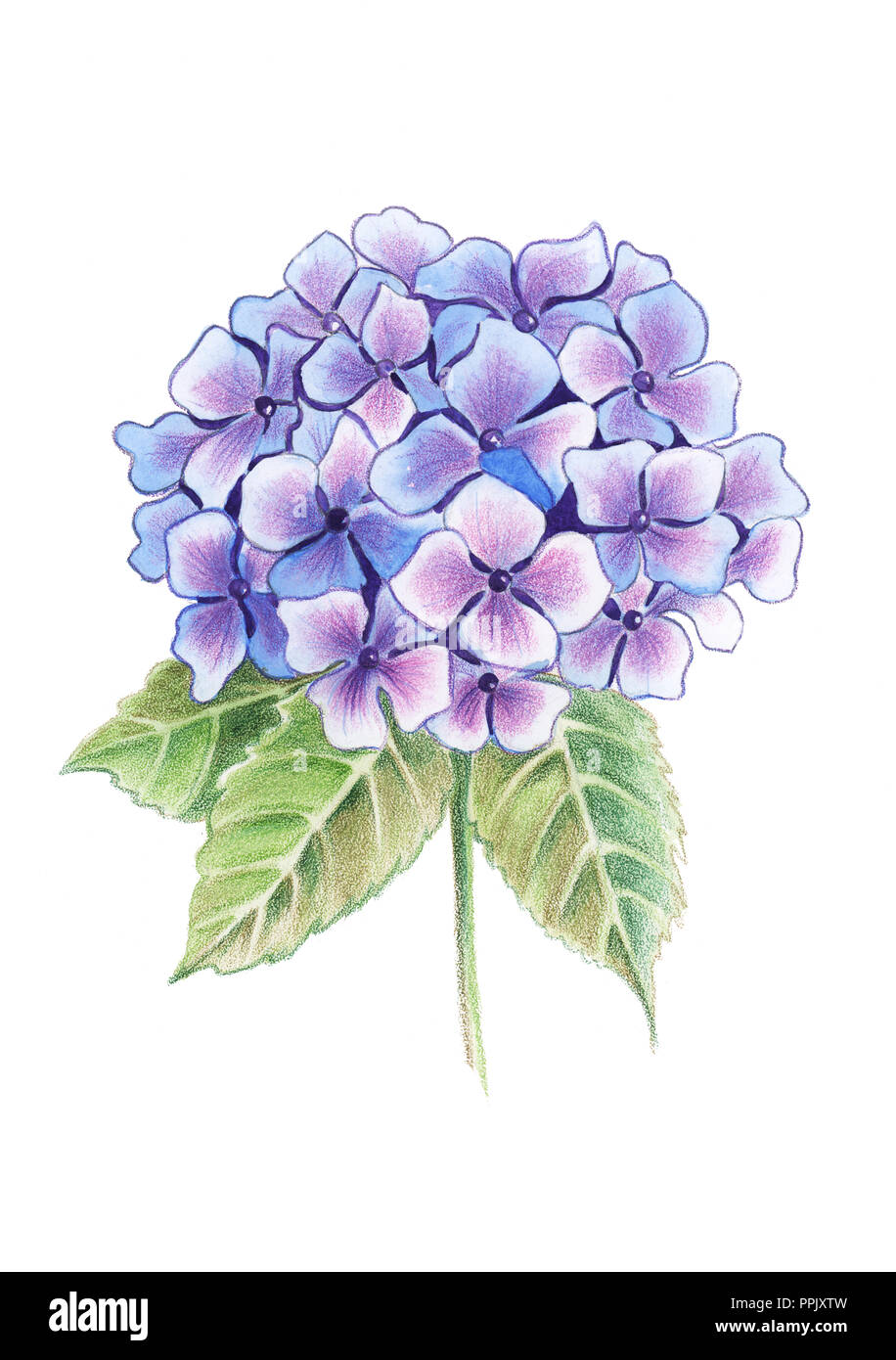 Illustration of drawing colored pencils hydrangea flowers in