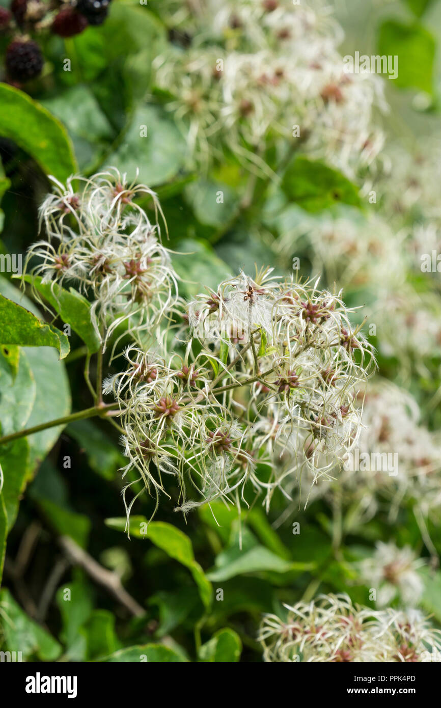 Clusters of feathered achenes clematis vitalba - Stock Image