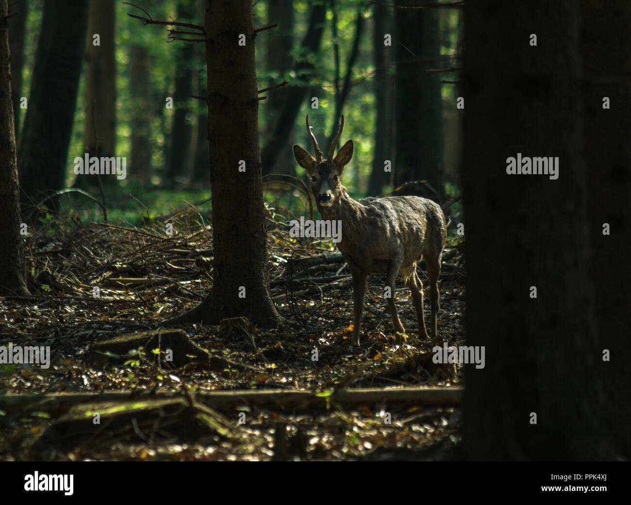 straight looking deer - Stock Image