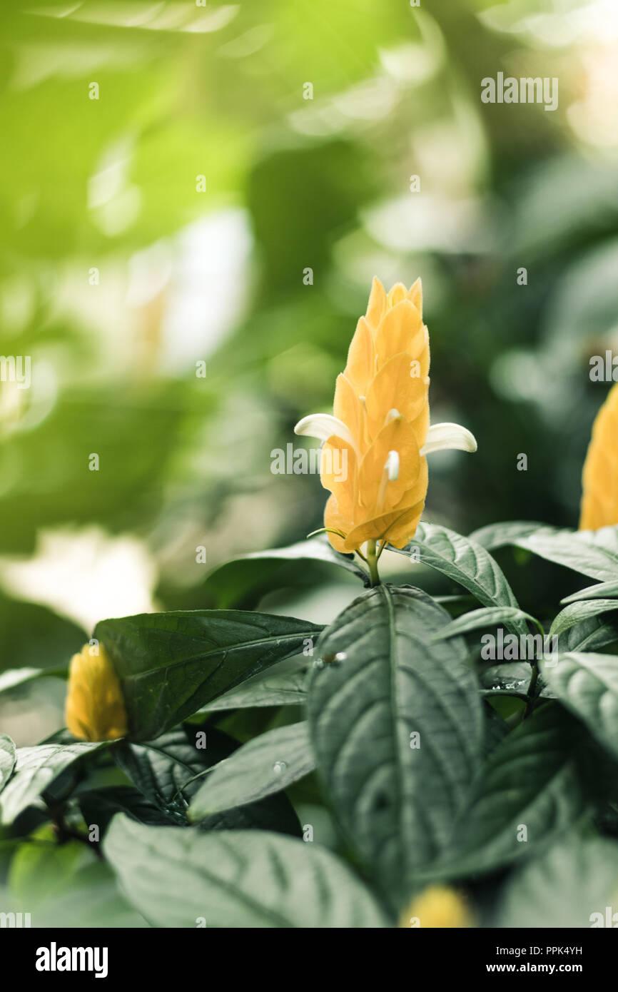 Yellow blossom plant - Stock Image
