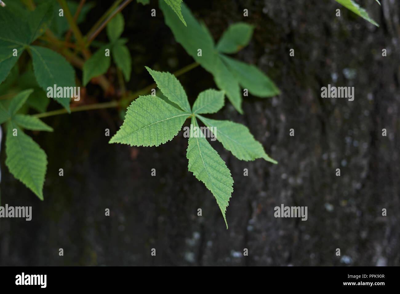 Aesculus hippocastanum bark - Stock Image