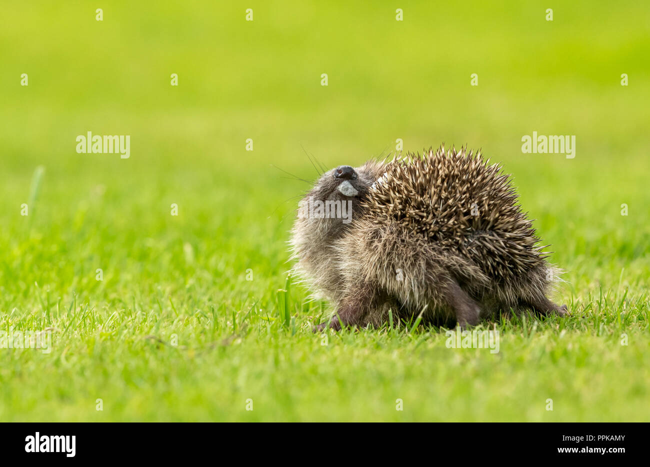 Hedgehog, young, wild, European hedgehog indulging in the strange behaviour of self-annointing. Scientific name: Erinanaceus europaeus. Horizontal - Stock Image
