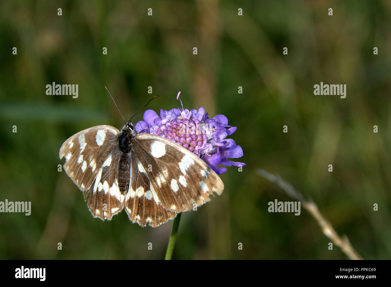 Black and white butterfly, stay on the blue flower and wait best photography shot, with blurred background - Stock Image
