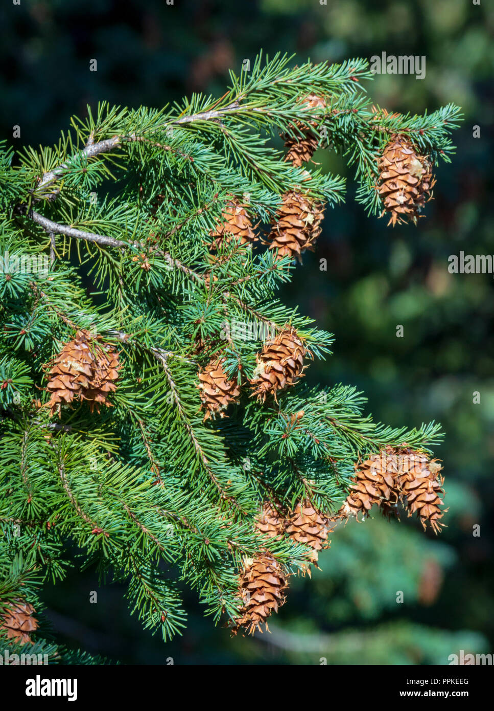 Douglas Fir tree (Pseudotsuga menziesii) in close up showing pine cones and needles, Castle Rock Colorado US. Photo taken in September. - Stock Image