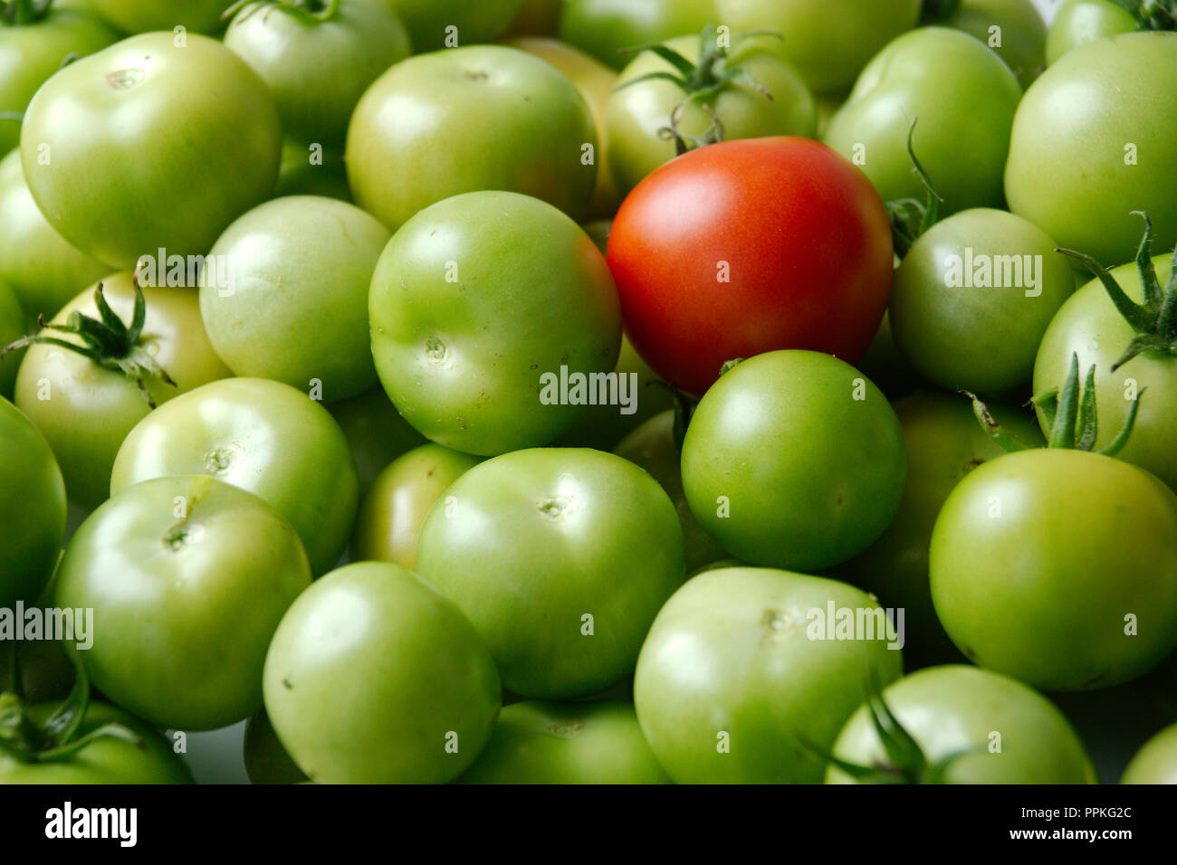 There's always one - one red tomatoe in a crowd of green - Stock Image