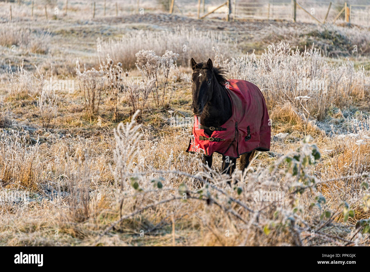 Horse in frosty field - Stock Image