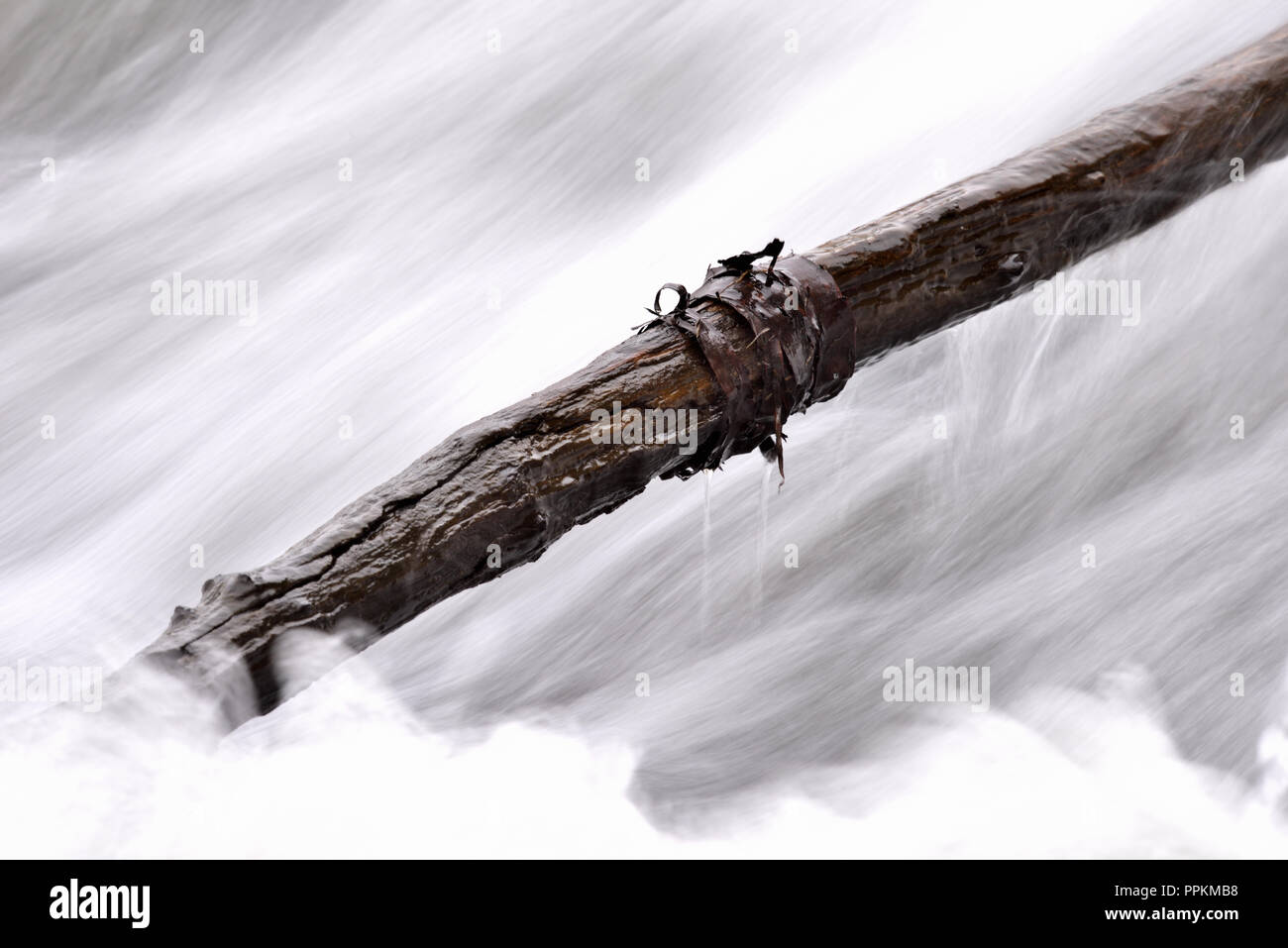 Leben und Tod - Ein sterbender Ast im lebendigen Wasser (life and death - A dying branch in the living water) - Stock Image