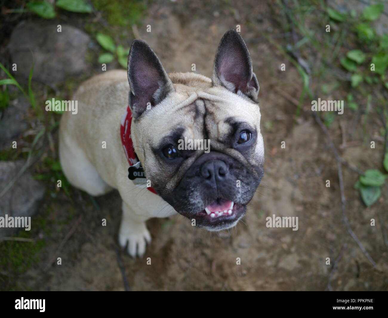 Frenchie at the Cottage - Stock Image