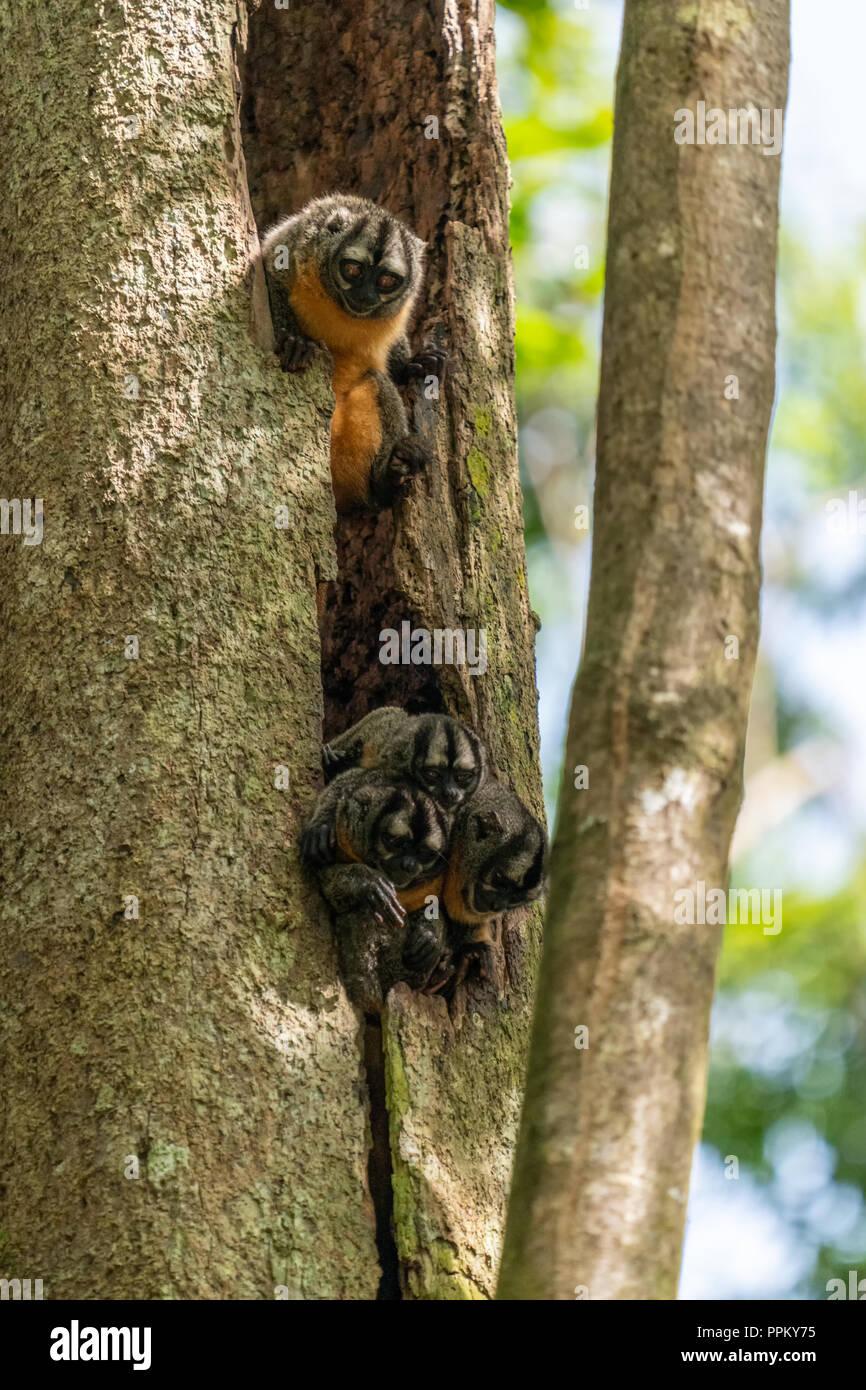 Pacaya Samiria Reserve, Peru, South America.  Night or Owl Monkeys peeping out of a tree. - Stock Image