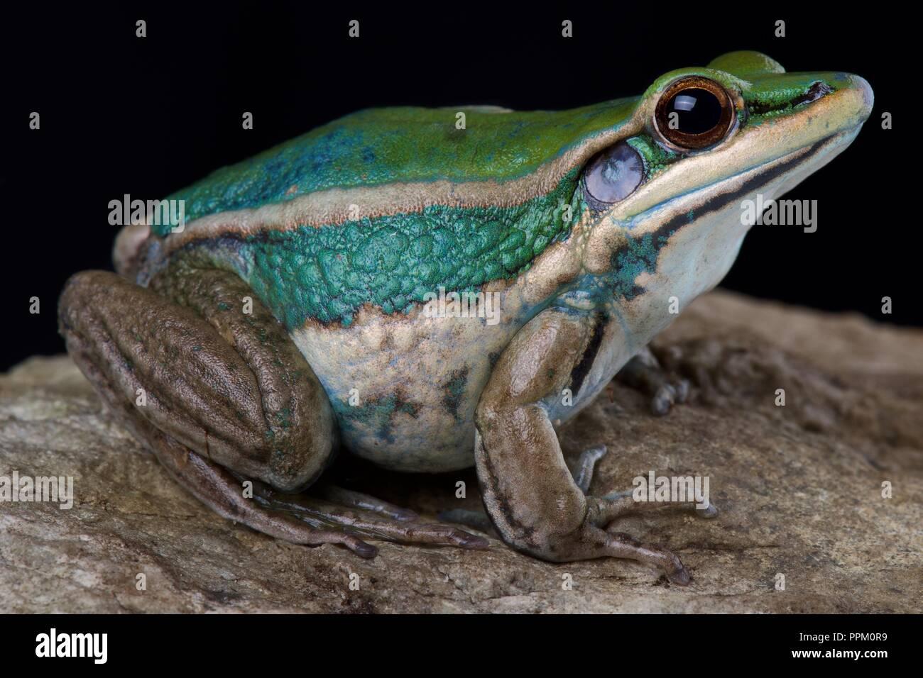 Common green frog (Hylarana erythraea) - Stock Image