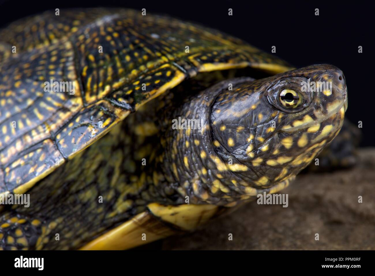 The Hellenic Pond Turtle (Emys orbicularis hellenica) is a beautiful European pond turtle species. - Stock Image