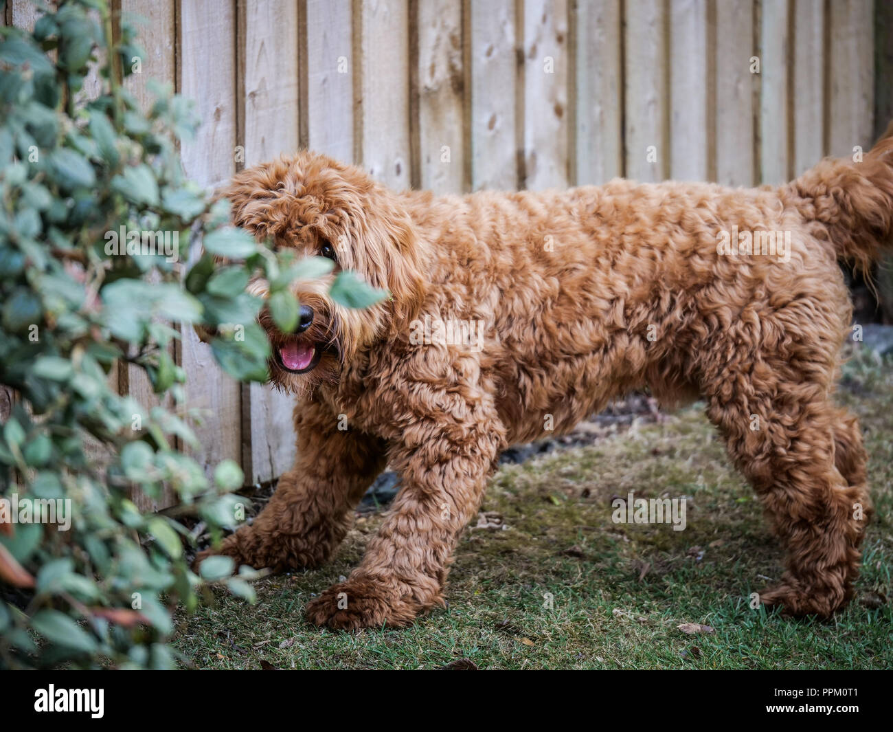 Red haired Cockapoo dog at play in a garden setting - Stock Image
