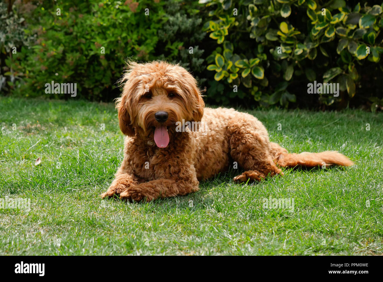 Red haired Cockapoo dog resting after at  in a garden setting - Stock Image