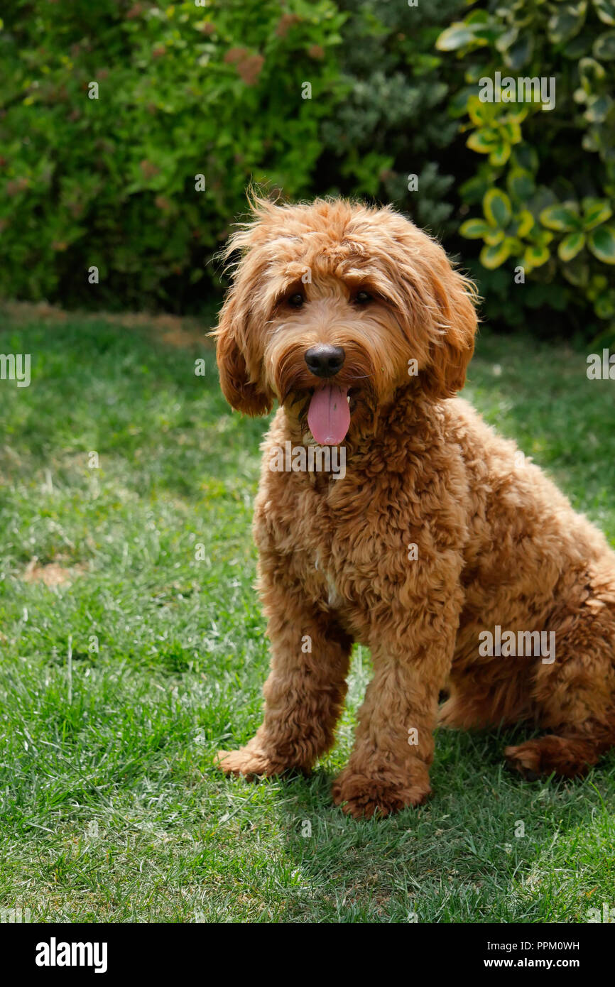 Red haired Cockapoo dog resting after play in a garden setting Stock Photo