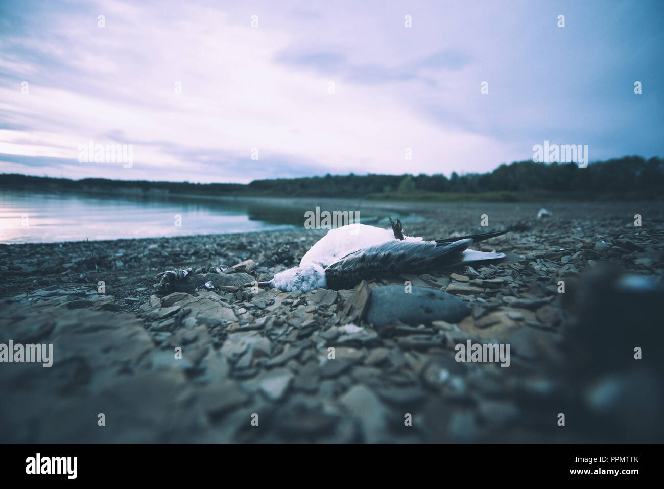 Dead bird on the shore of the lake because of the dirty water. - Stock Image