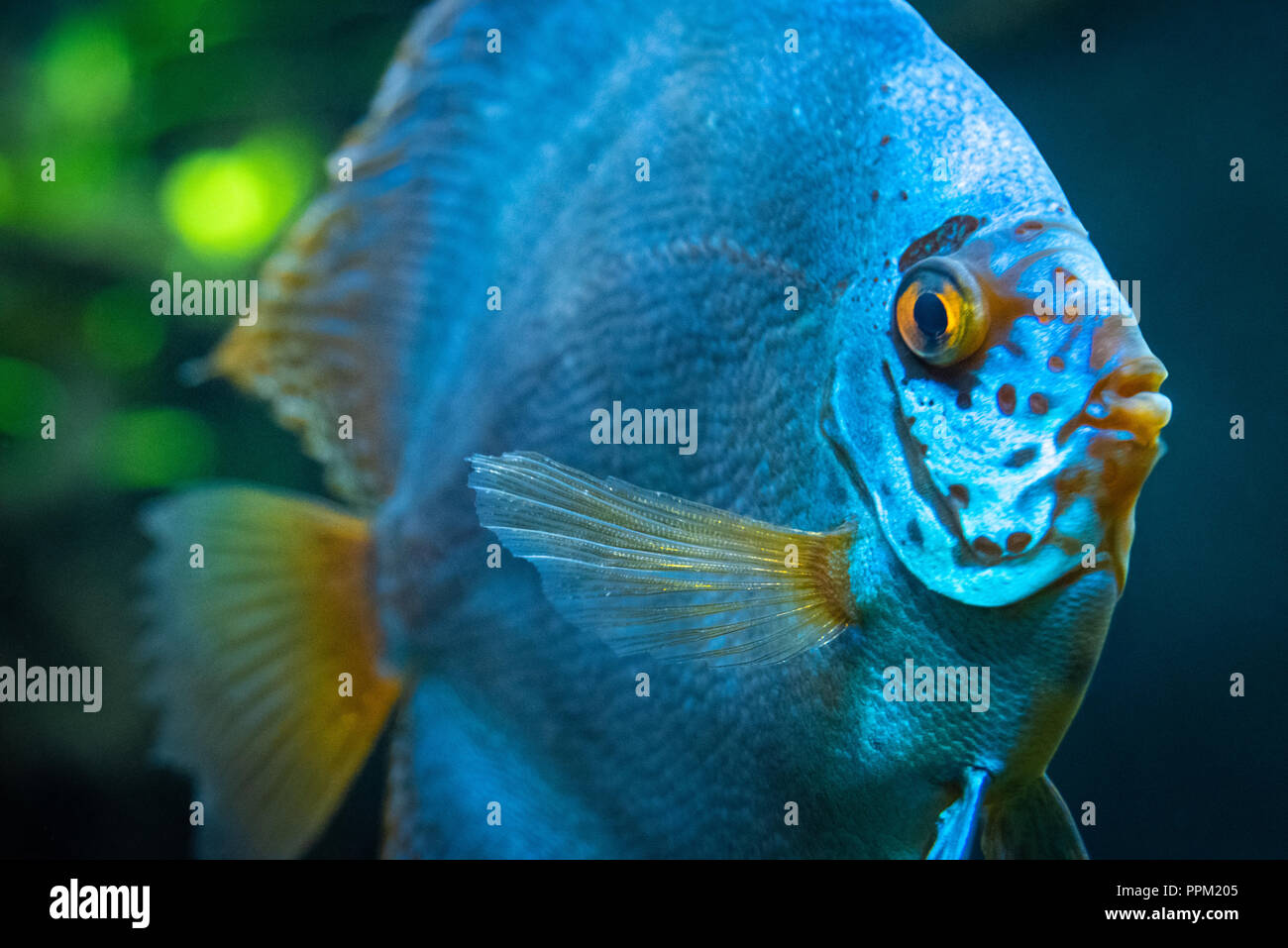 Blue Discus Symphysodon Aequifasciatus A Tropical Fresh Water
