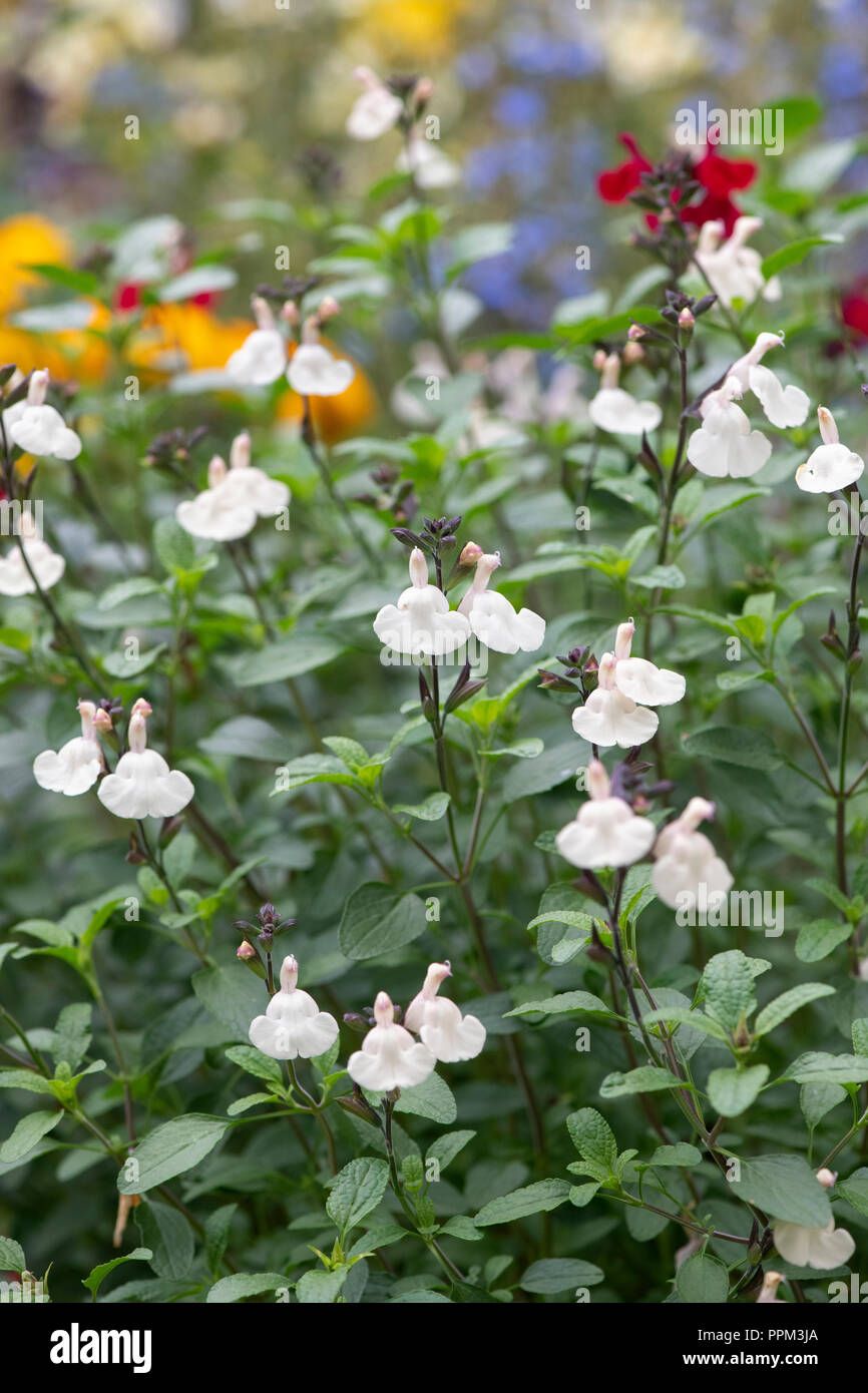 Salvia x jamensis 'Heatwave glimmer'.  Salvia flowers / Perennial sage - Stock Image
