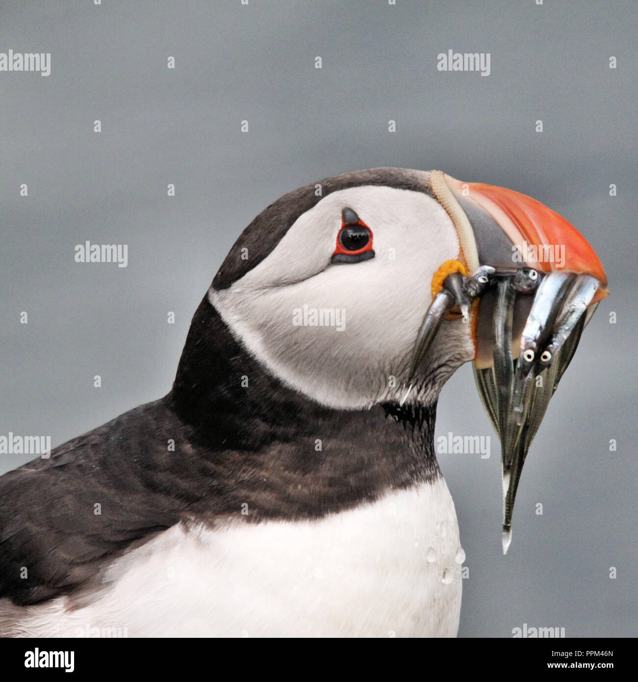 A view of a Puffin with Sand Eels on Farne Islands - Stock Image