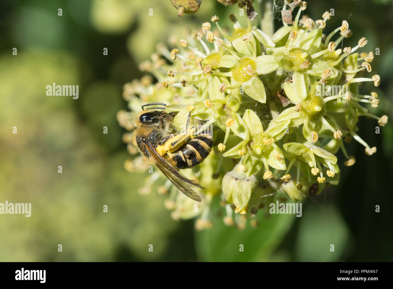 Ivy bee (Colletes hederae) feeding on nectar of ivy flowers (Hedera helix) in late September and collecting pollen (with copy space) - Stock Image
