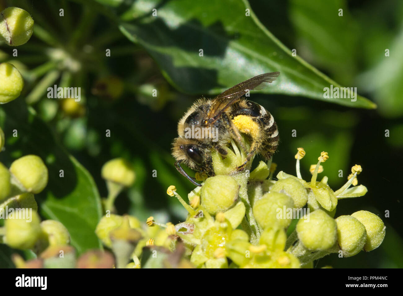 Ivy bee (Colletes hederae) feeding on nectar of ivy flowers (Hedera helix) in late September and collecting pollen - Stock Image