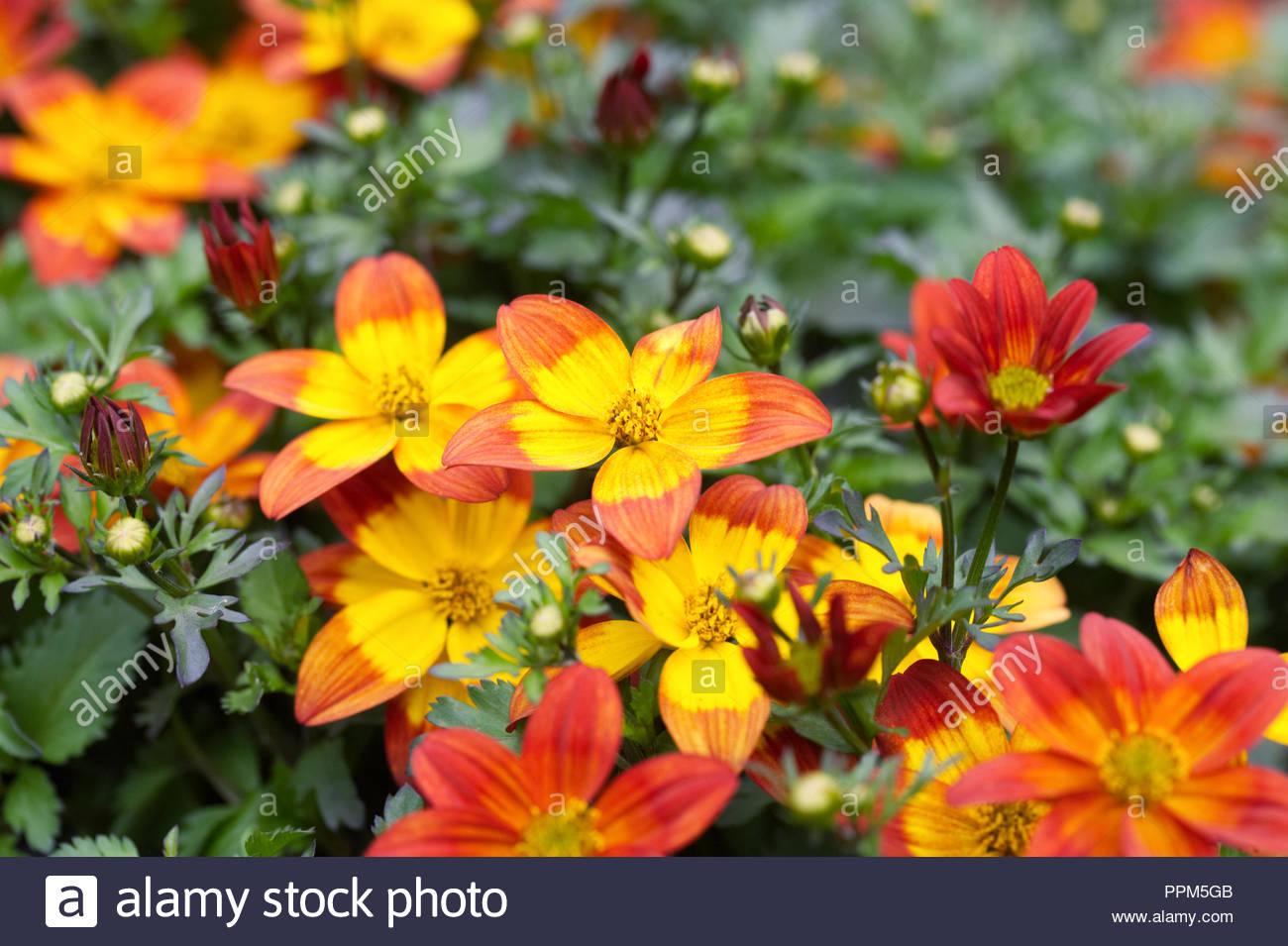 Bidens 'Blazing Fire' flowers. - Stock Image