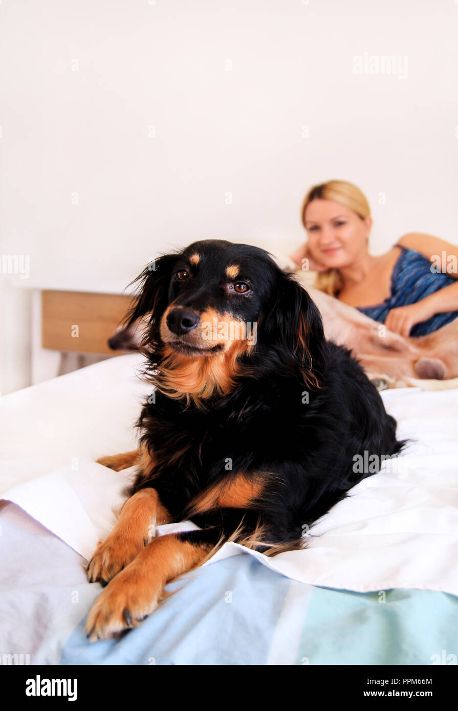 A woman with her dogs at home, relaxing in bedroom. Young beautiful girl plays in bed with her dogs. Yellow labrador retriever climbed into and mixed. - Stock Image