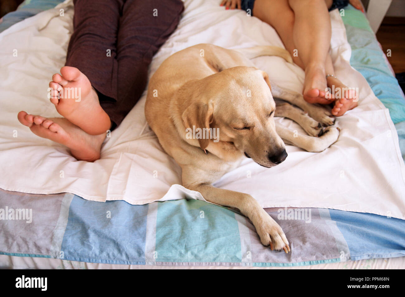Yellow labrador retriever dog sleeping on the bed between owners feet couple, pet in bedroom in morning.  Man and a woman in sheets on the bed. - Stock Image