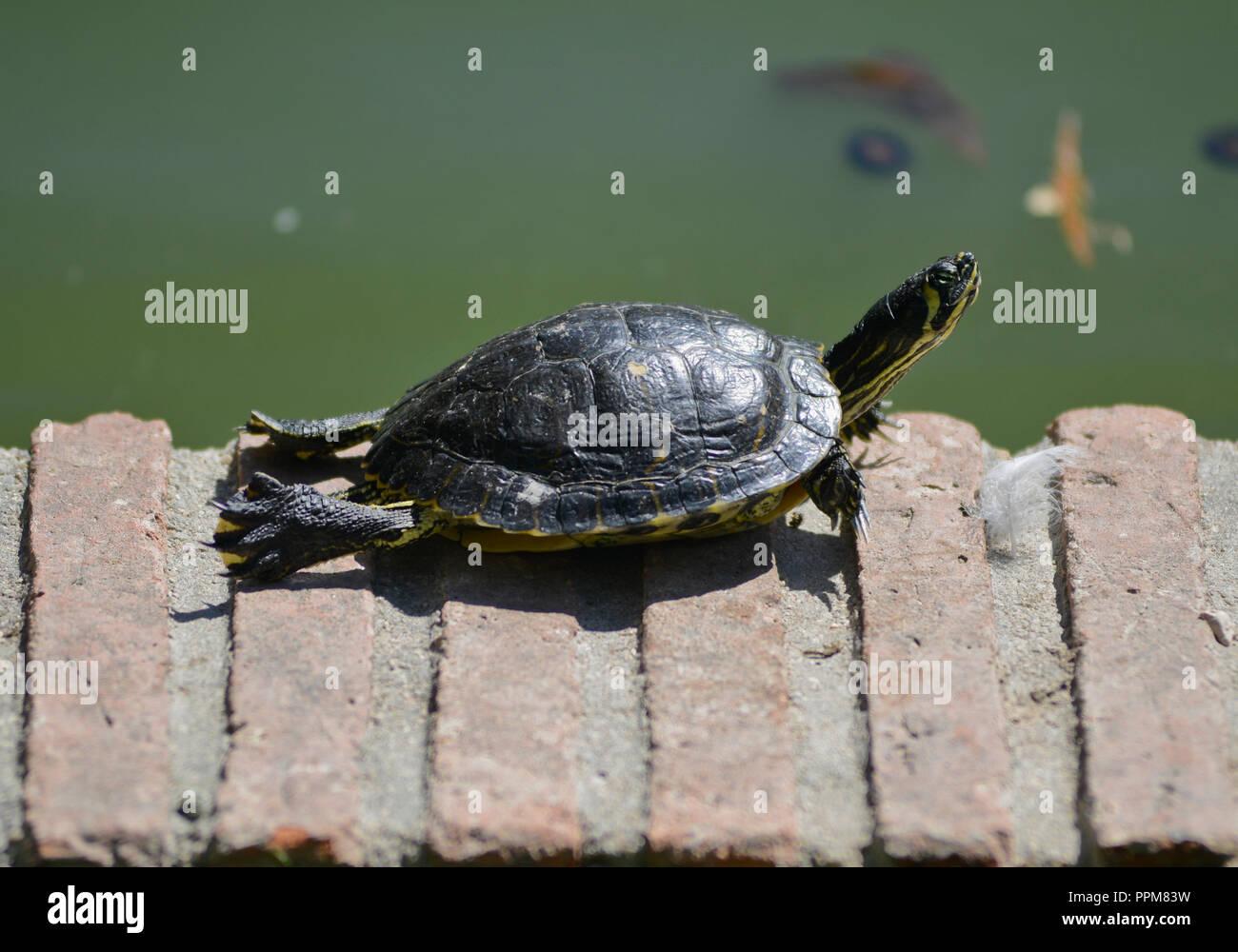 Turtles sunbathing. Buen Retiro Park - Parque del Buen Retiro, Madrid, Spain Stock Photo