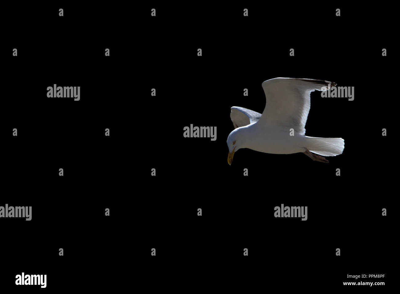 Flying Seagull with Expanded Wings - Stock Image