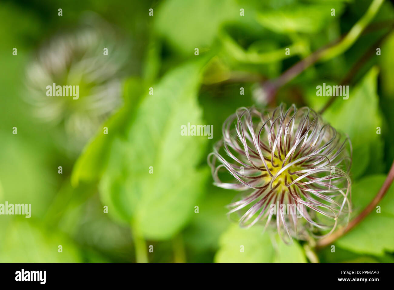 A hairy plant Clematis amongst green leaves - Stock Image