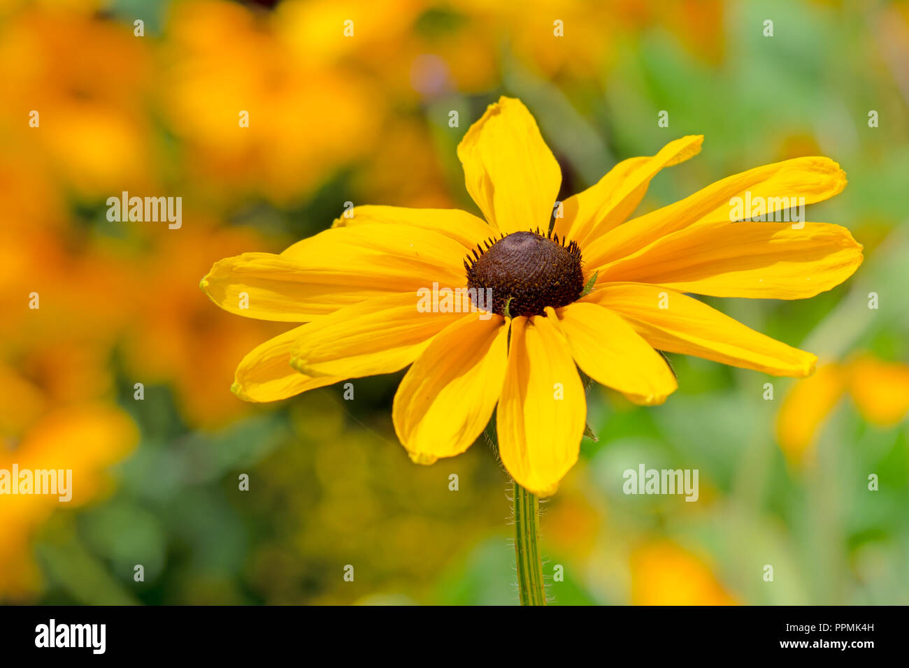 Flowerbed with yellow echinacea flowers - selective focus - Stock Image