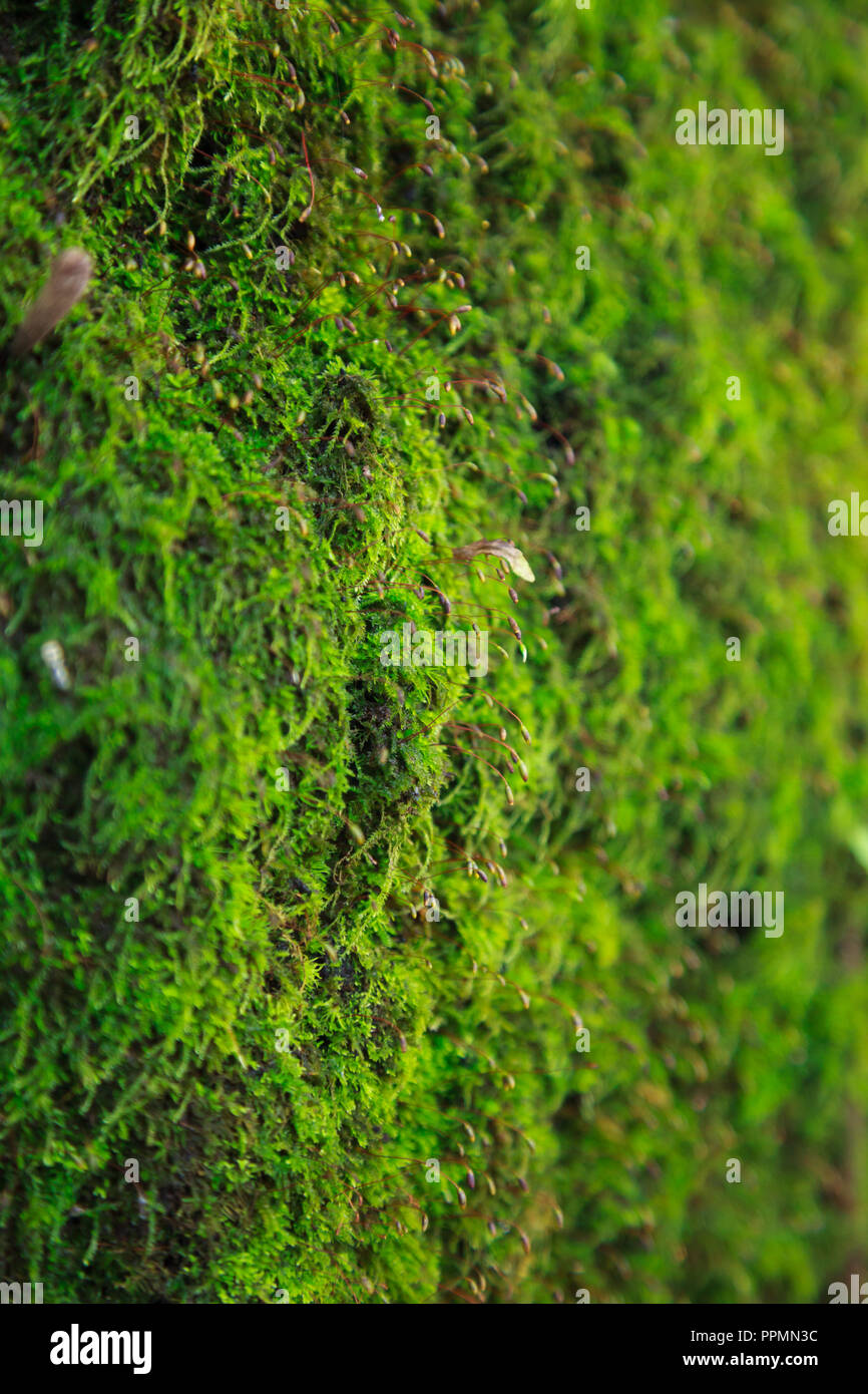 Closeup fresh dense green moss lichen micro life grows on tree trunk bark. natural background, texture, detail, surface, nature, flowerless plant mat  - Stock Image