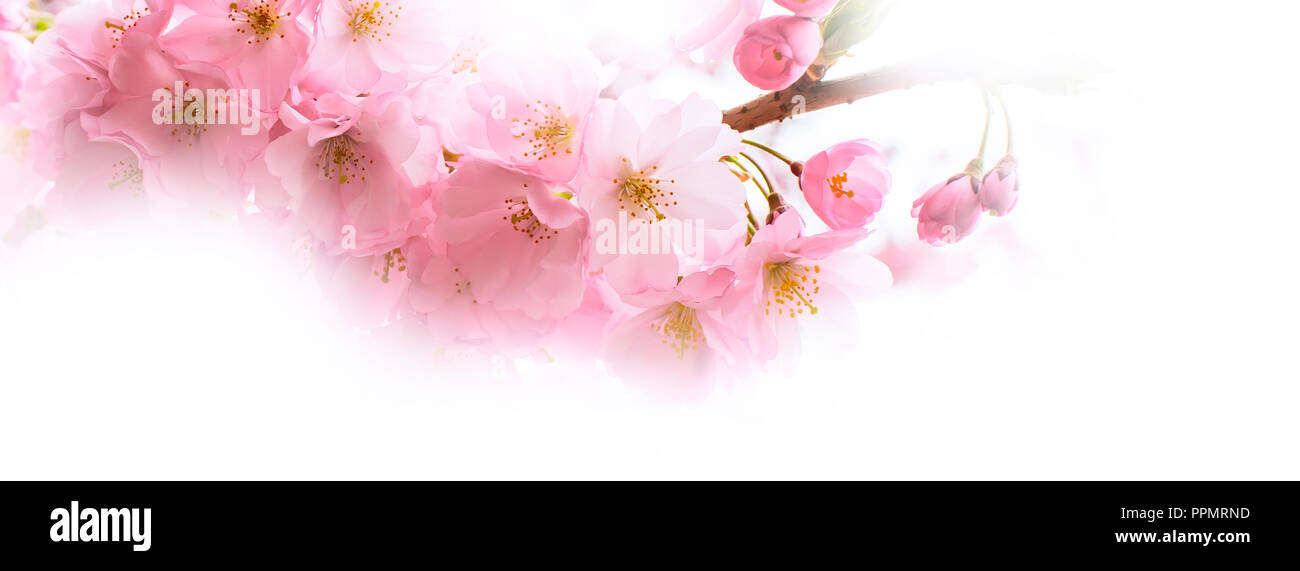 holiday banner background with spring pink cherry blossom sakura