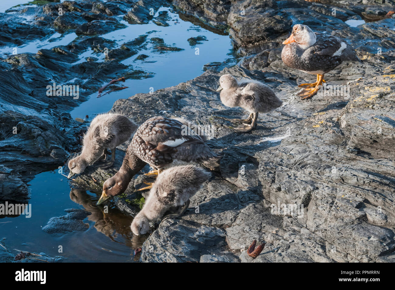 A brood of Steamer duck and her chicks. - Stock Image