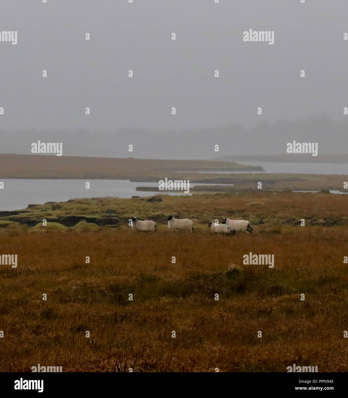 Ballycroy, County Mayo, Ireland. 27 September 2018. Irish weather - a grey day with widespread drizzle on the west coast of County Mayo. Sheep on bogland at Ballycroy. Credit:David Hunter/Alamy Live News. - Stock Image