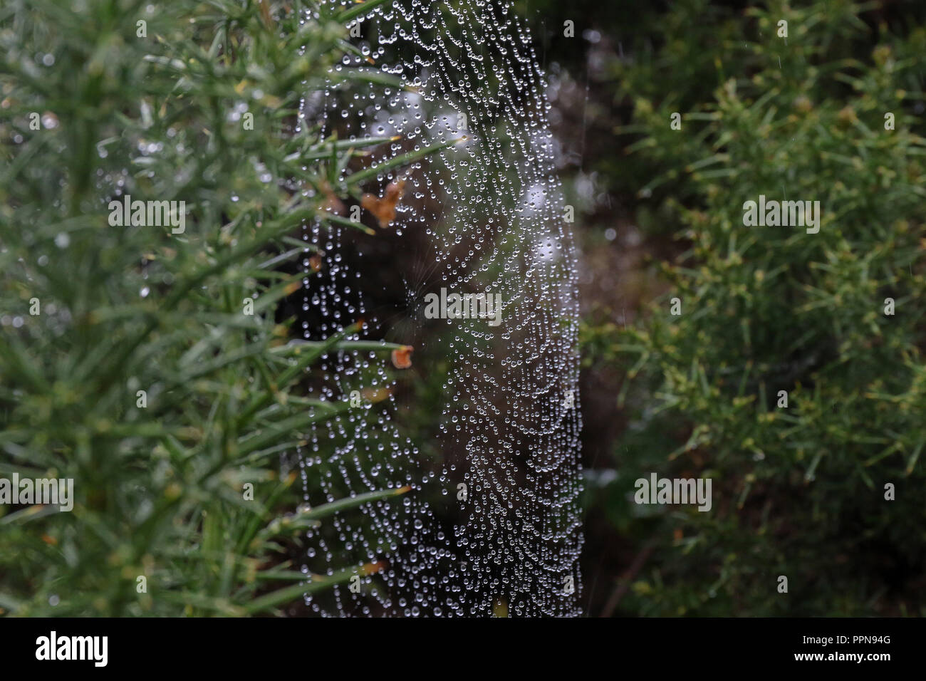 Ballycroy, County Mayo, Ireland. 27 September 2018. Irish weather - a grey day with widespread drizzle on the west coast of County Mayo. Raindrops on a spider's web. Credit: David Hunter/Alamy Live News. - Stock Image