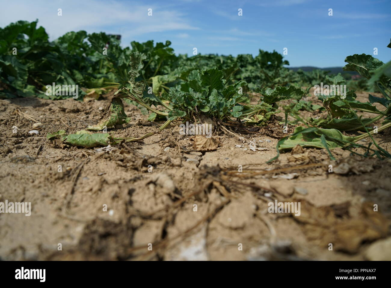 The extreme heat in Germany leads to enormous losses in the harvest of corn and corn in agriculture - Stock Image