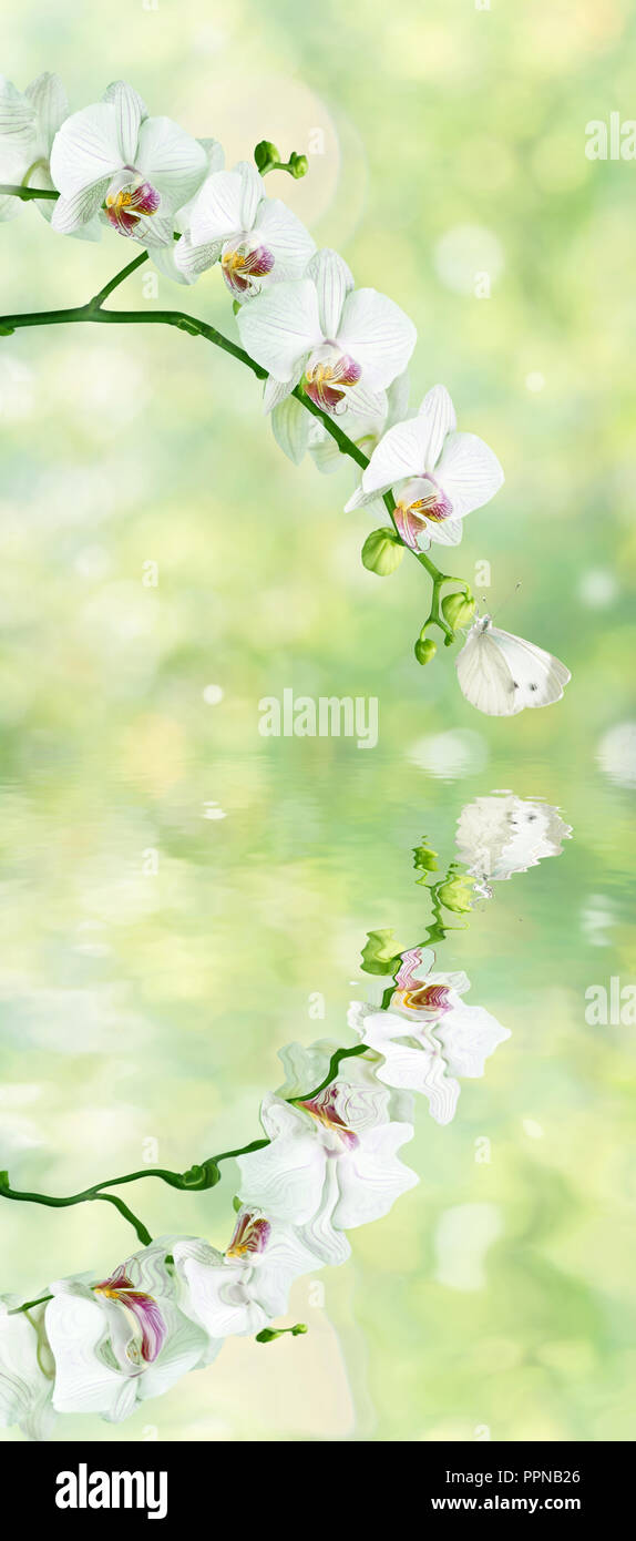 Beautiful white phalaenopsis orchid flowers with butterfly on the blurred abstract natural yellow-green background with reflection in a water surface  - Stock Image