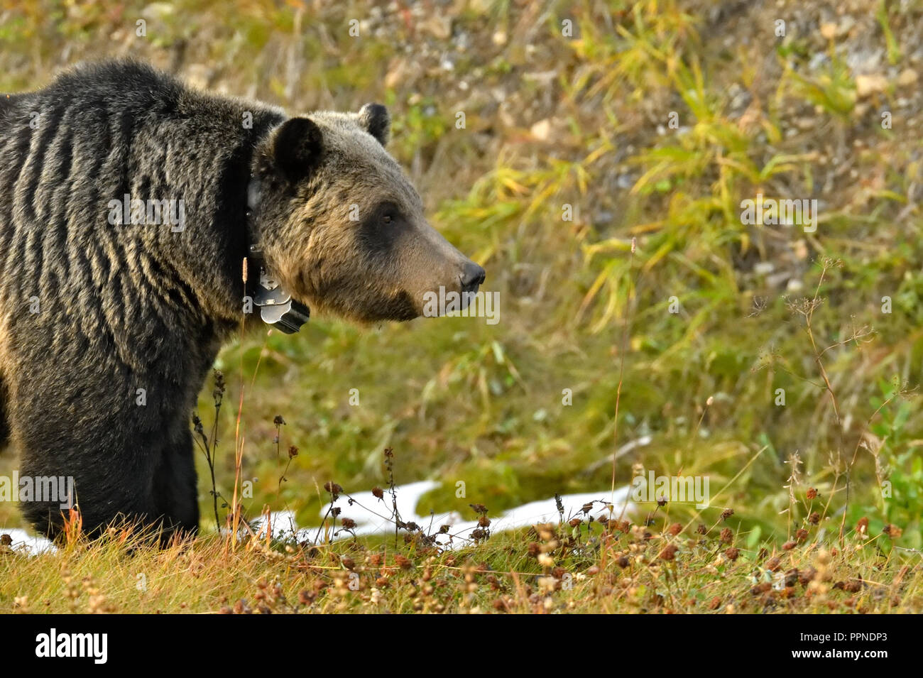 A side view of a wild grizzly bear coming into the frame showing the tracking collar and leaving space to apply copy taken in rural Alberta Canada. - Stock Image